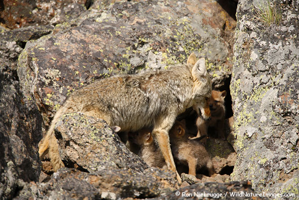 Coyote and her pups in a den