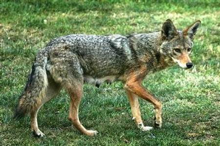 A travelling coyote