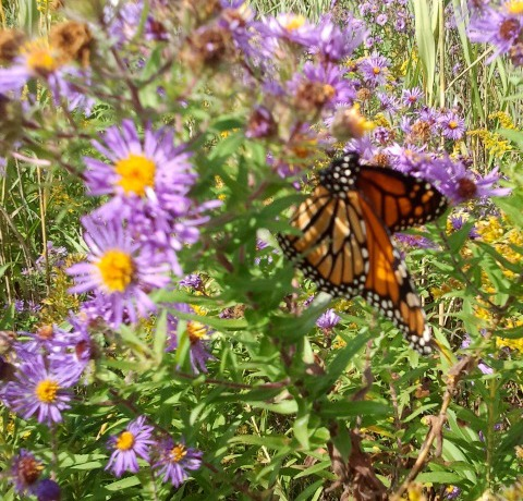 An adulte monarch feeding on an New England aster